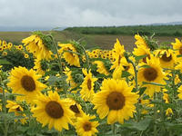 短い夏に咲き乱れる!北海道の花々 - 陶芸ブログ 限 無 窯    氷裂貫入青瓷の世界