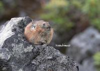 エゾナキウサギが超活発に動き回っていましたよ (^^)/ - ukiwa-mの気ままなブログ