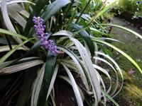 薮蘭 ピュアブロンド - だんご虫の花