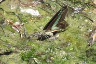 都市公園のカワセミその2 - 川の鳥見日記3