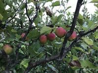 リンゴの実が色づきはじめました - 「今日の一枚」