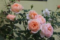 9月のアンブリッジローズ - my small garden~sugar plum~