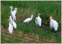 アマサギたち - 野鳥の素顔 <野鳥と日々の出来事>