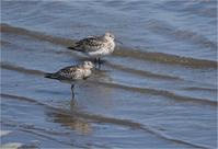 浜辺のシギチ - 野鳥がいるから