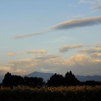 座間のひまわり暁に咲く18.08.13 05:34 - スナップ寅さんの「日々是口実」