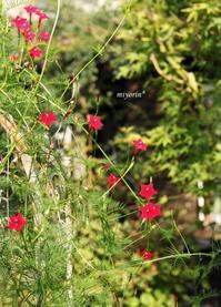 ルコウソウたくましいお花たちに助けられている晩夏の庭 - miyorinの秘密のお庭