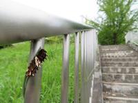 茎を齧るジャコウアゲハ幼虫 - 秩父の蝶