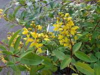 香春蔓 - だんご虫の花