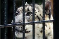 「リーベ」を見つめるユキヒョウ「コハク」 - 動物園放浪記