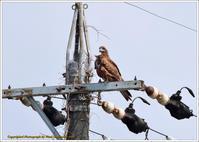 トビが電柱に - 野鳥の素顔 <野鳥と・・・他、日々の出来事>