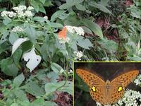 ミドリヒョウモン - 秩父の蝶
