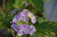 紫陽花返り咲き(我が家の庭から) - きょうから あしたへ その2