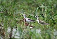 休耕田 待望の目的の鳥に出会えたものの - 私の鳥撮り散歩