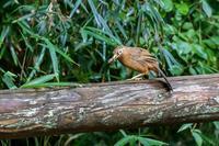 虫を咥えたガビチョウと水浴びするヤマガラ - あだっちゃんの花鳥風月