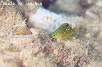マグレな2ショット~ルリホシスズメダイ幼魚~ - 池ちゃんのマリンフォト