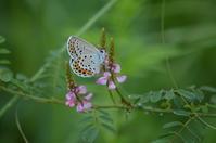 ミヤマシジミ9月8日 - 超蝶