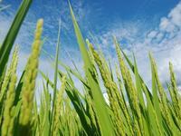 稲の香 - いつかみたソラ