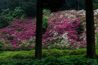 ツツジと石楠花の織りなすタペストリー(三室戸寺) - 花景色-K.W.C. PhotoBlog
