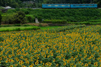 夏の花畑2018上野町ひまわり園(奈良県五條市) - 花景色-K.W.C. PhotoBlog