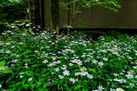 大原菊咲く蓮華寺 - 花景色-K.W.C. PhotoBlog