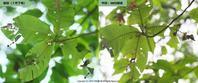 アオバセセリの幼虫観察:その3(8月下旬) - 探蝶逍遥記