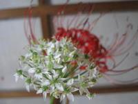 秋雨赤と白ちょい辛ペーニョ・トウモロコシ - 南阿蘇 手づくり農園 菜の風