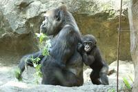 僕の名前はリキ、来月には1歳になるゴリラの赤ちゃんです    (上野動物園) - 旅プラスの日記