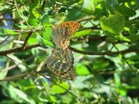 ミドリヒョウもの交尾 - 秩父の蝶