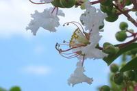 ウチの百日紅は白色。今時椿開花って? - 長女Yのつれづれ記
