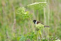 ⑬北の大地「オオジュリン」さん -在庫からー - ケンケン&ミントの鳥撮りLifeⅡ