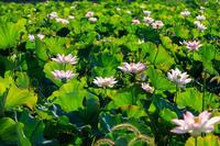 夏の花畑2018城陽の蓮畑 - 花景色-K.W.C. PhotoBlog