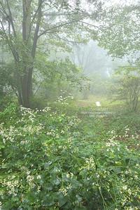 霧の赤城自然園 - お花びより