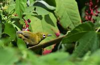 ヨウシュヤマゴボウの実とメジロ - ベジタブルpartⅤ(鳥と共に日々是好日)
