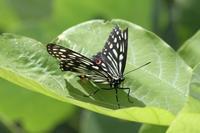 ウラナミシジミ自宅近くの公園で - 蝶のいる風景blog