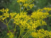 秋の七草のひとつ、オミナエシ - 神戸布引ハーブ園 ハーブガイド ハーブ花ごよみ