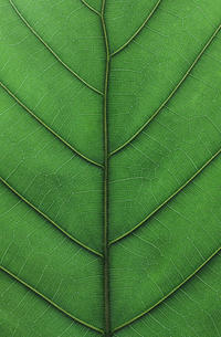 ウンベラータの葉 - Nasukon Pantry