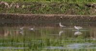 休耕田のシギ達(アオアシシギ・コアオアシ・タカブ・イソシギ) - 私の鳥撮り散歩