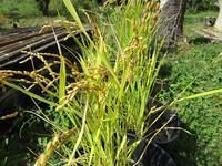 稲の収穫・・・ほんのちょっぴりね! - フランス Bons vivants des marais