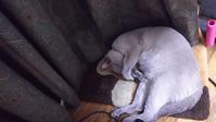 暑いけど秋 - MINKWIN Cattery &Pretty Aki                    トンキニーズの店