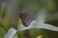 ウラナミジャノメ9月10日 - 超蝶