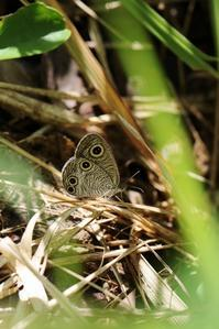 ウラナミジャノメなどの産卵 - 蝶超天国