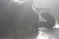 数えで十七回目の同居記念日 - 『ココんちの (3+1)+(1+1+1) 猫と一犬のたわごと』 6 Pitchouns et 2 Pitchounettes