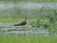 休耕田でツバメチドリと遭遇 - コーヒー党の野鳥と自然 パート2