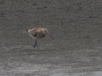 三番瀬にいたオオソリハシシギ - コーヒー党の野鳥と自然 パート2