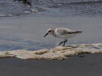 暑い三番瀬のミユビシギ - コーヒー党の野鳥と自然 パート2