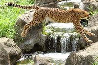 ネコ好きにはたまりません。美しきかな、チーターの大ジャンプ  (多摩動物園) - 旅プラスの日記