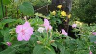 オシロイバナの香り - 今から・花
