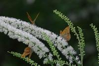 オーレリアンの庭(9月6日撮影) - 川の流れのカンツカブログ