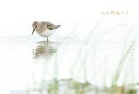 オジロトウネン - 北の野鳥たち
