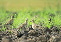 やっと会えたムナグロ - barbersanの野鳥観察